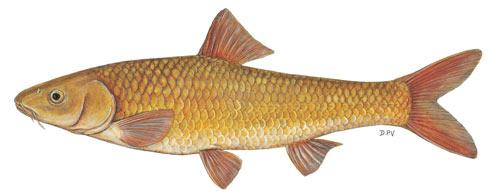 Berg-Breede Whitefish