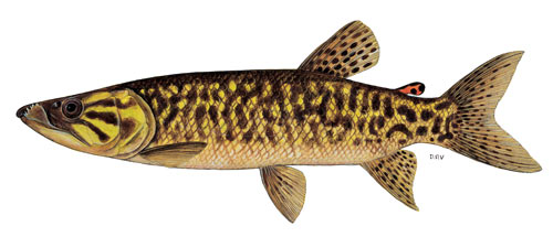 African Pike