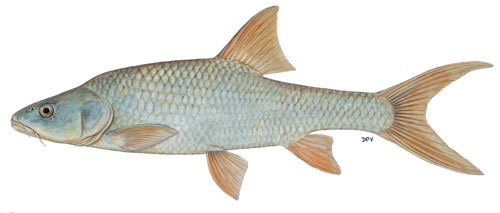 Orange-Vaal Largemouth Yellowfish