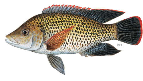 Mozambique Tilapia or Blue Kurper or Bloukurper