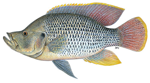 Humpback largemouth bream