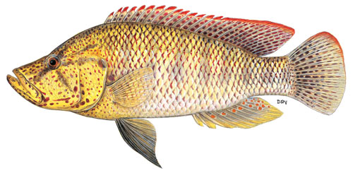 Thinface largemouth bream
