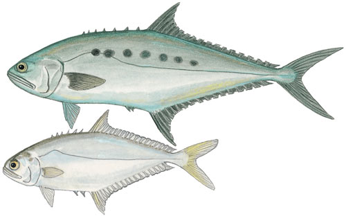 Queenfish or Talang Queenfish