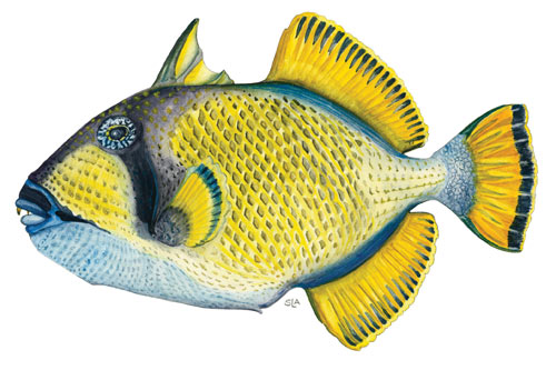 TitanTriggerfish or Dotty Triggerfish