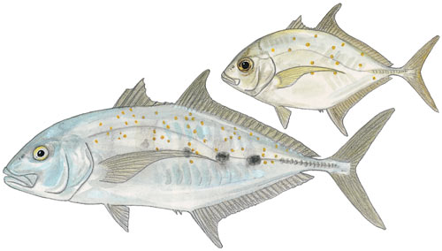 Yellowspotted Kingfish